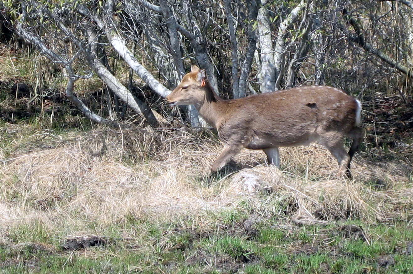 Asian Elk 43