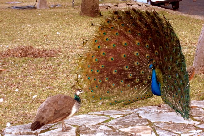 Peacock in the Quadrangle
