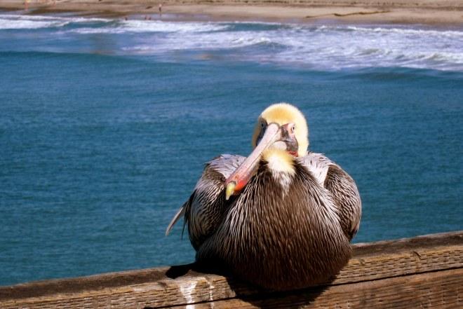 Pelican Pix #1