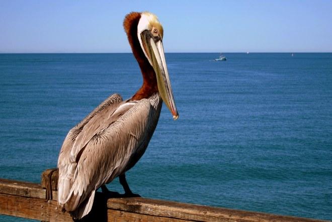 Pelican Pix #3